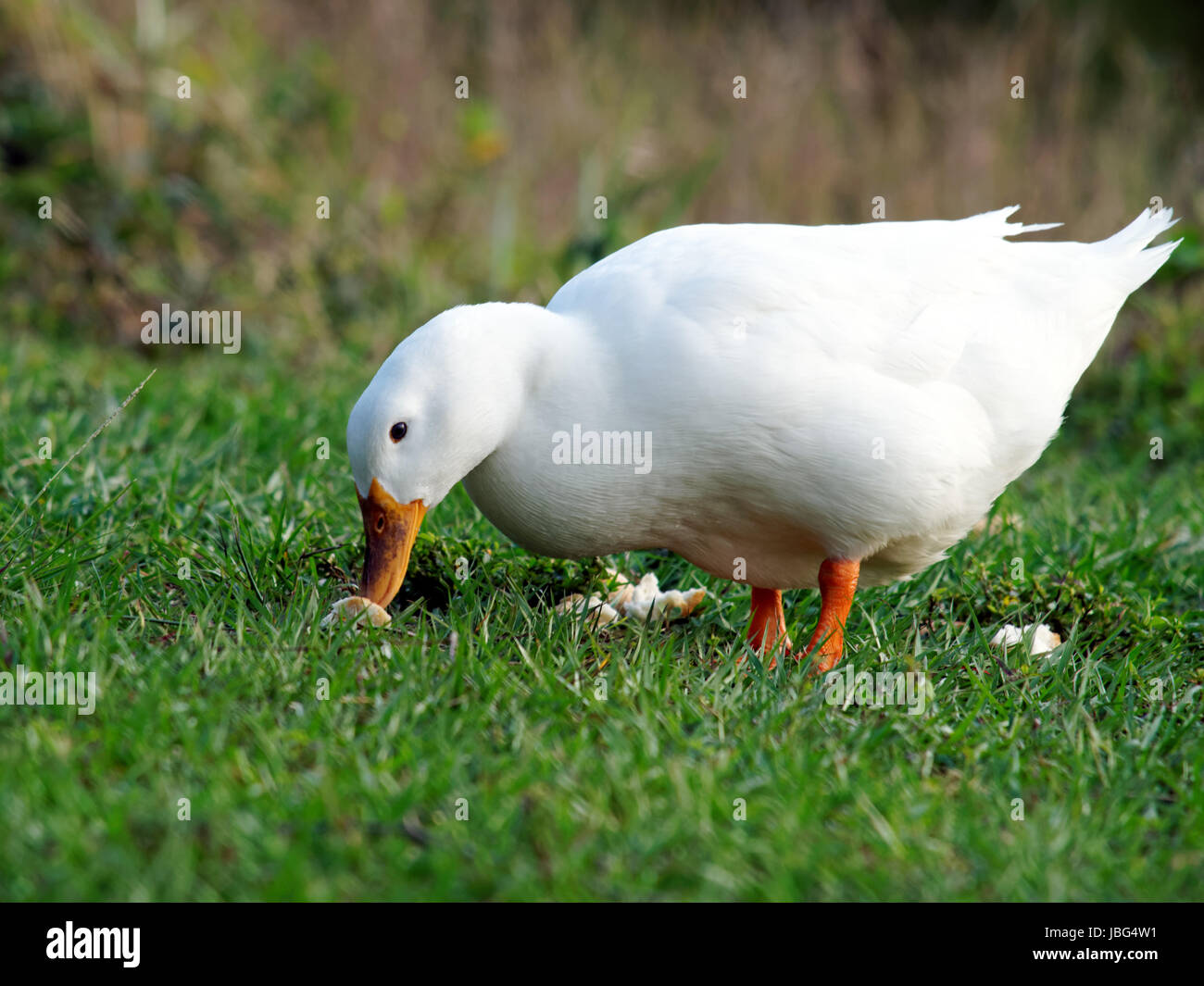 American Pekin Duck with bread on grass in a park. Stock Photo