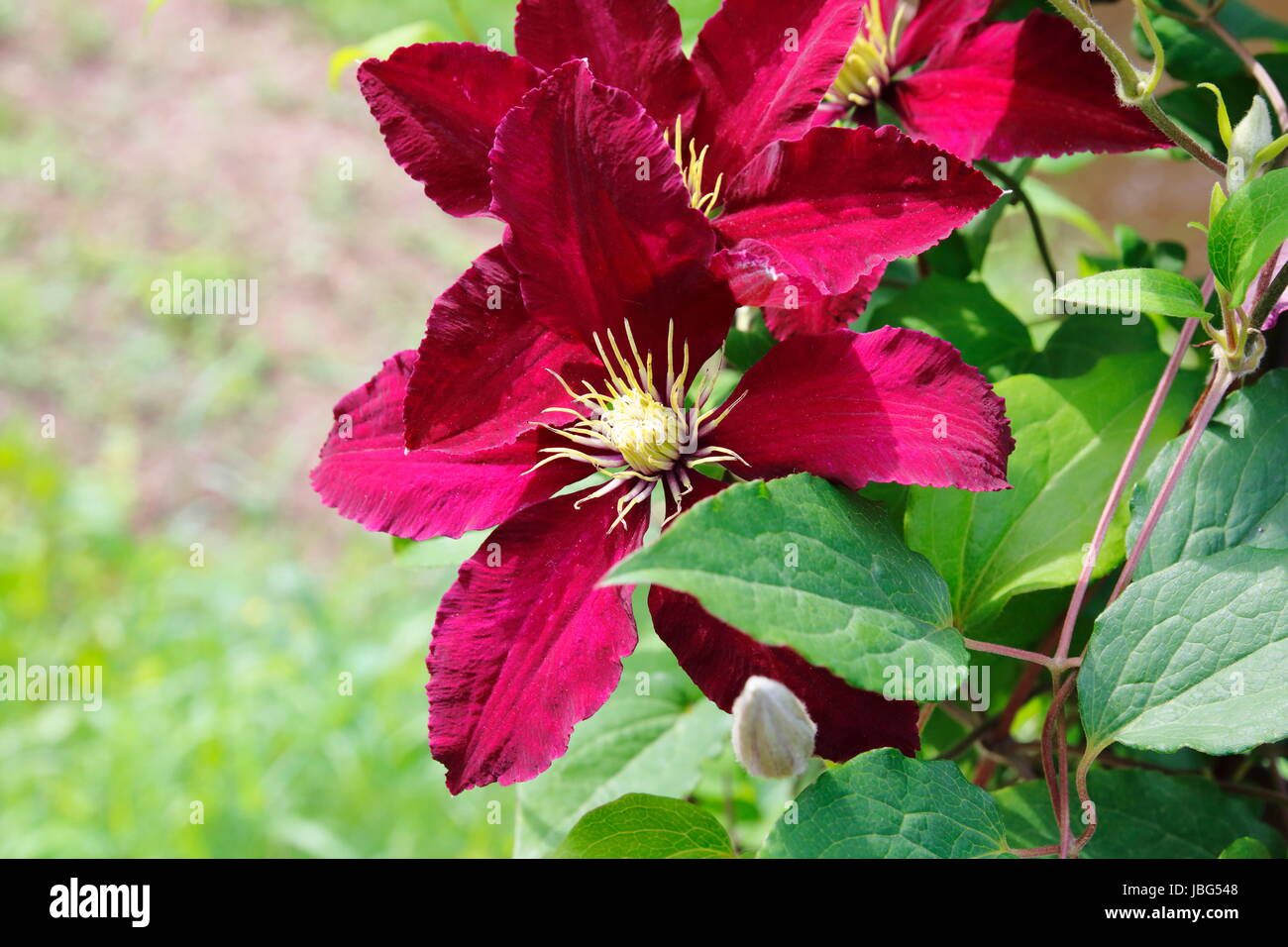 bordeaux farbene Clematis - Stock Image
