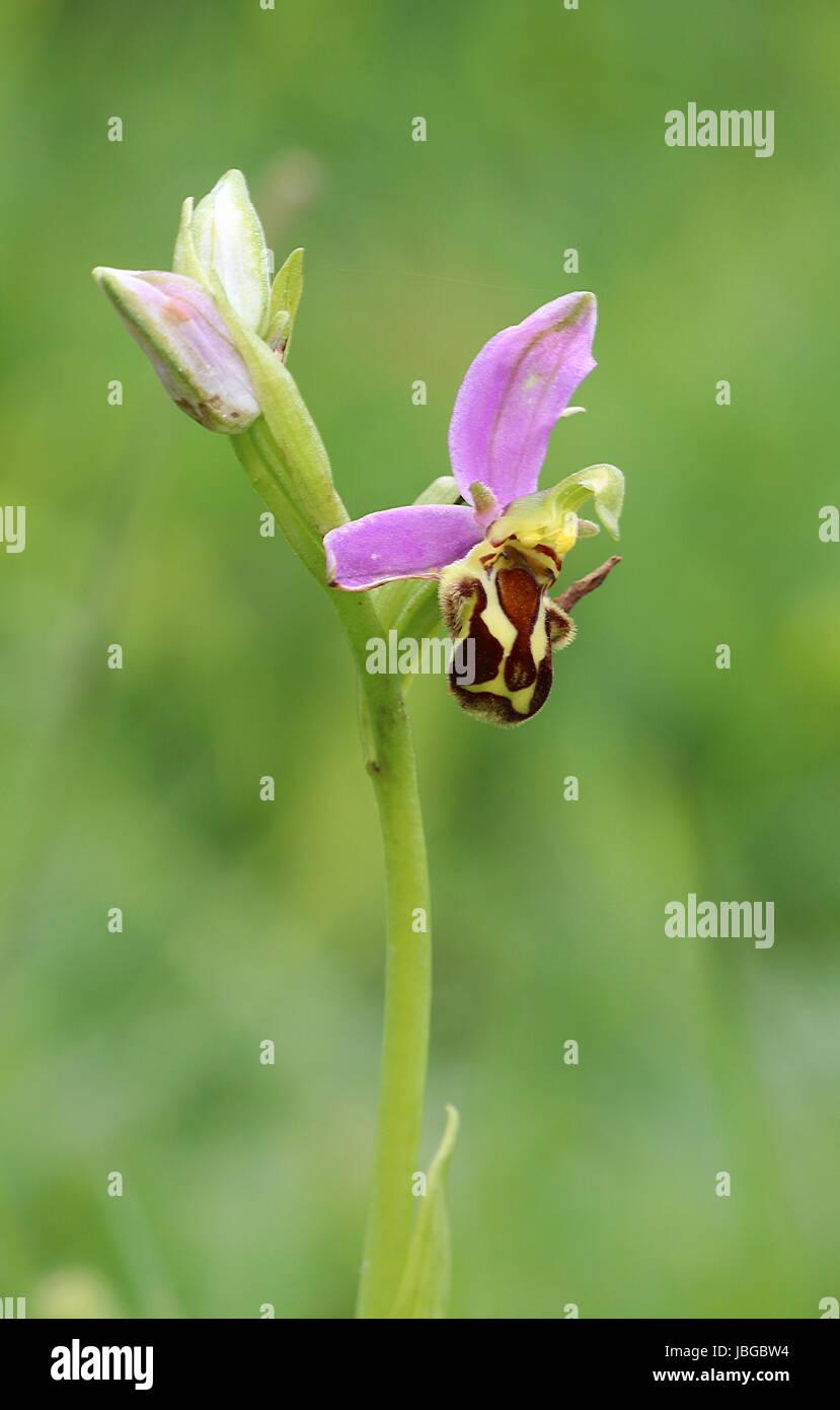 Wild Bee Orchid Dorset - Stock Image