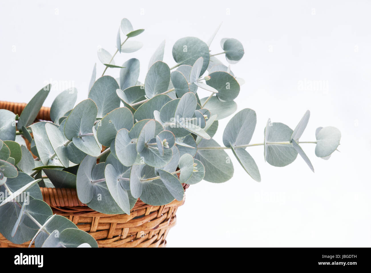 Eucalyptus perriniana on white background - Stock Image