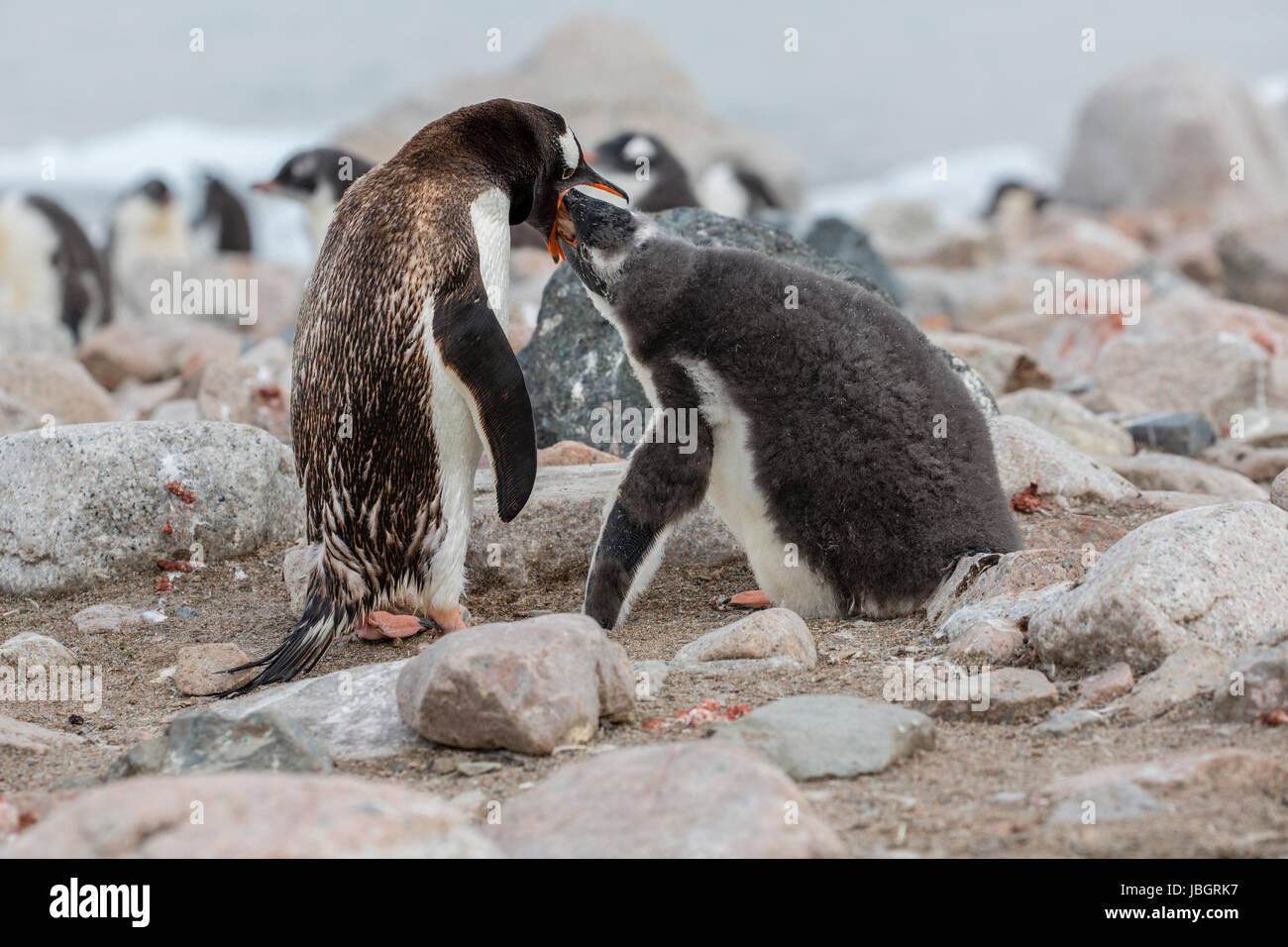 Gentoo penguin feeding her chick at Dorian Bay, Antarctica - Stock Image