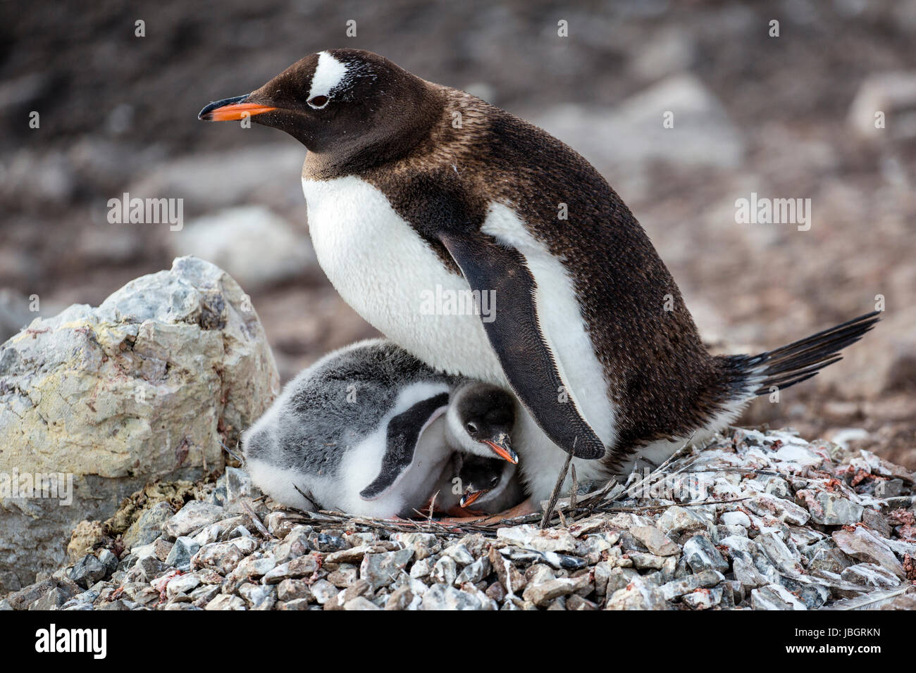Gentoo penguin and her chicks at Neko Harbor, Antarctica - Stock Image
