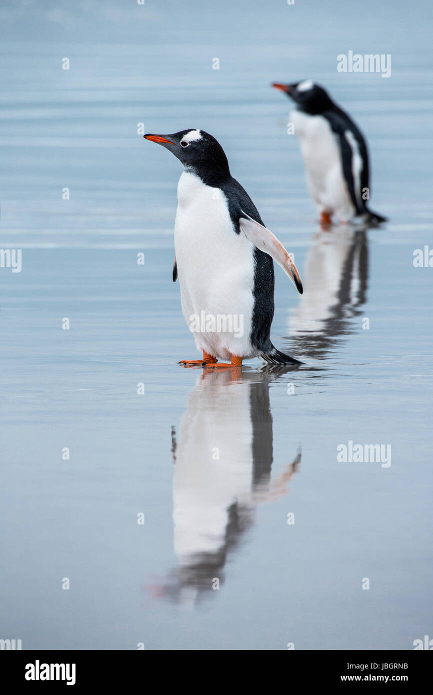 Gentoo penguin reflections on Saunders beach, Falkland Islands - Stock Image