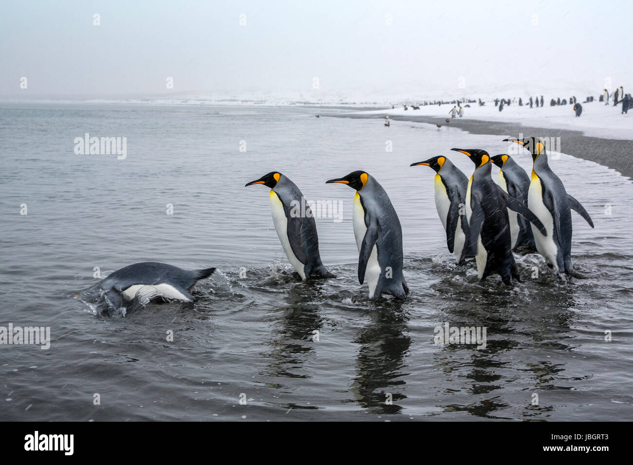 King penguins on South Georgia island - Stock Image