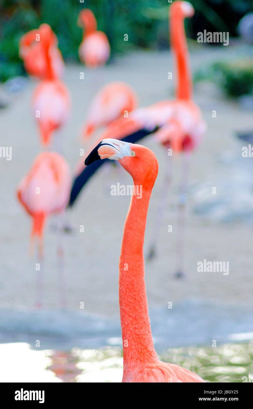 A profile view of a Caribbean Flamingo standing in the water, also known as american flamingo and Phoenicopterus Stock Photo