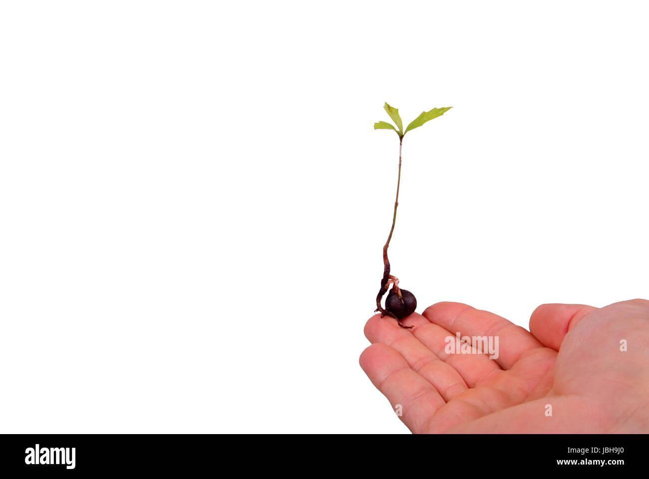 An oak tree seedling resting on a man's finger. Stock Photo