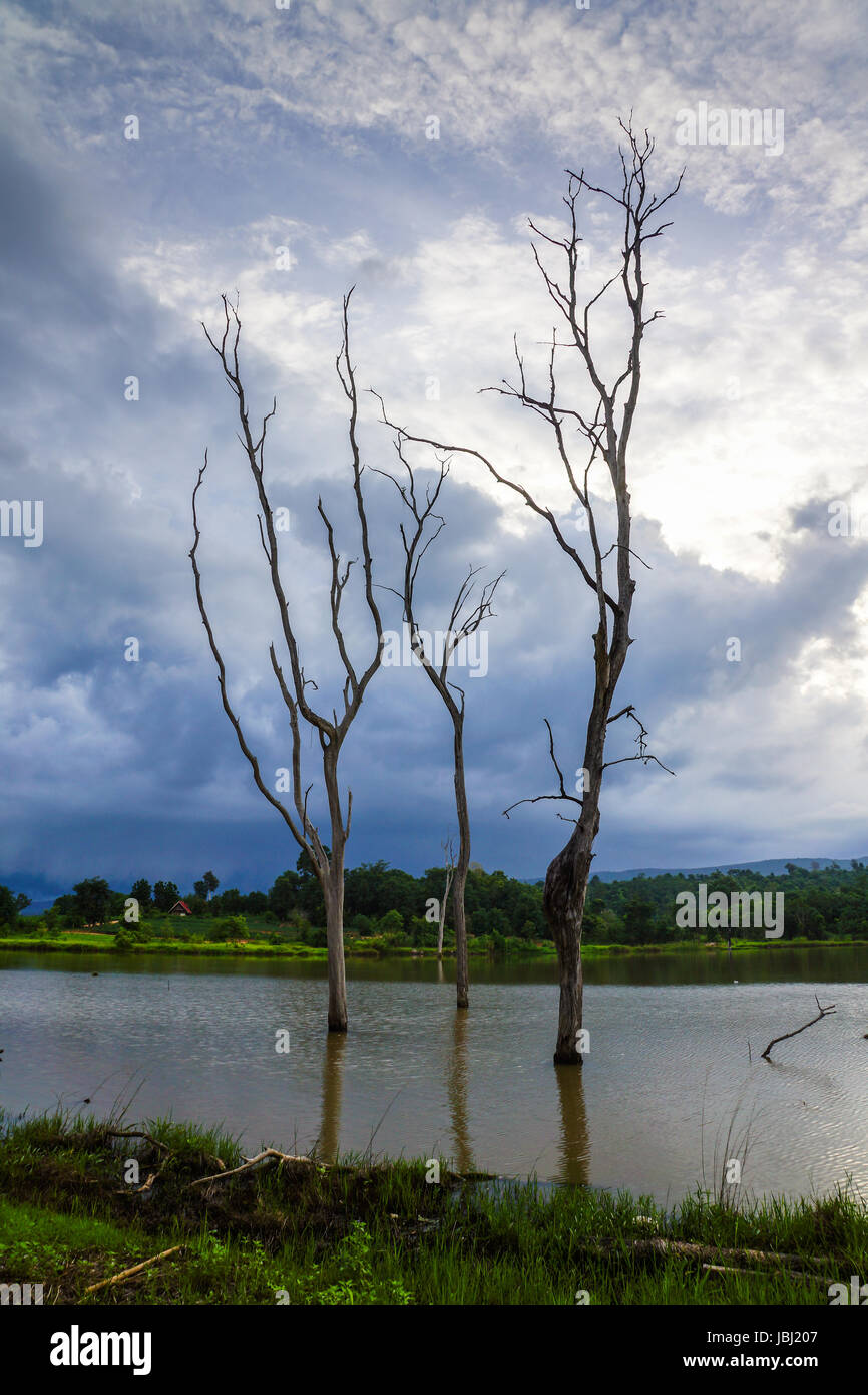 Dried trees in swamp in about raining in forest. - Stock Image