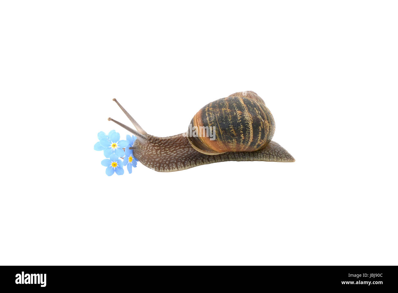 Garden snail exploring blue forget-me-not flowers, isolated on a white background - Stock Image