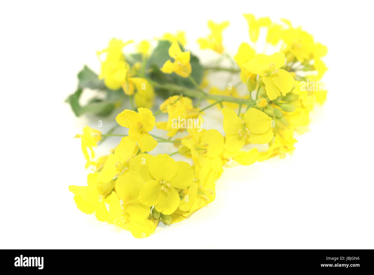 frischer gelber Raps vor hellem Hintergrund Stock Photo