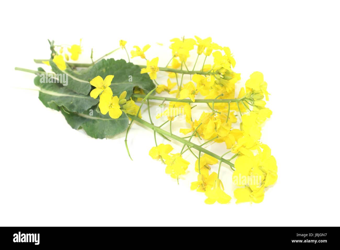 frische gelbe Rapsblüten vor hellem Hintergrund Stock Photo