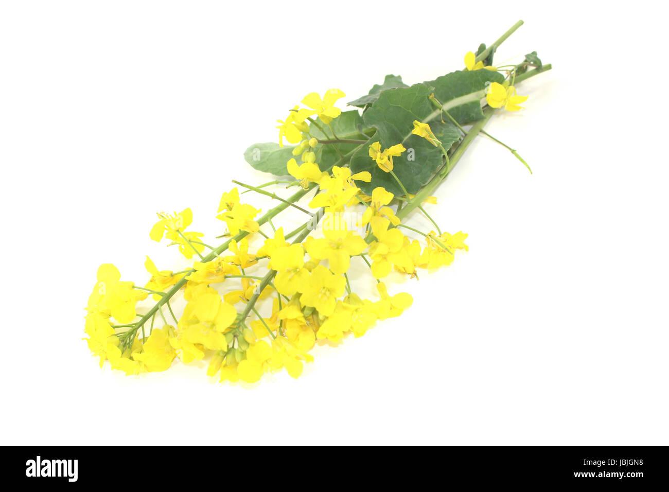 gelbe Rapsblüten vor hellem Hintergrund Stock Photo