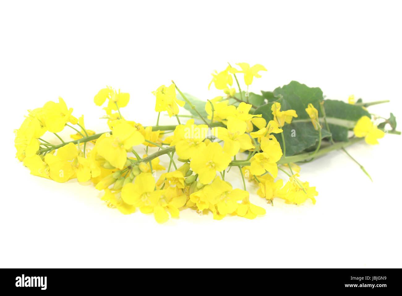 frische Rapsblüten vor hellem Hintergrund Stock Photo