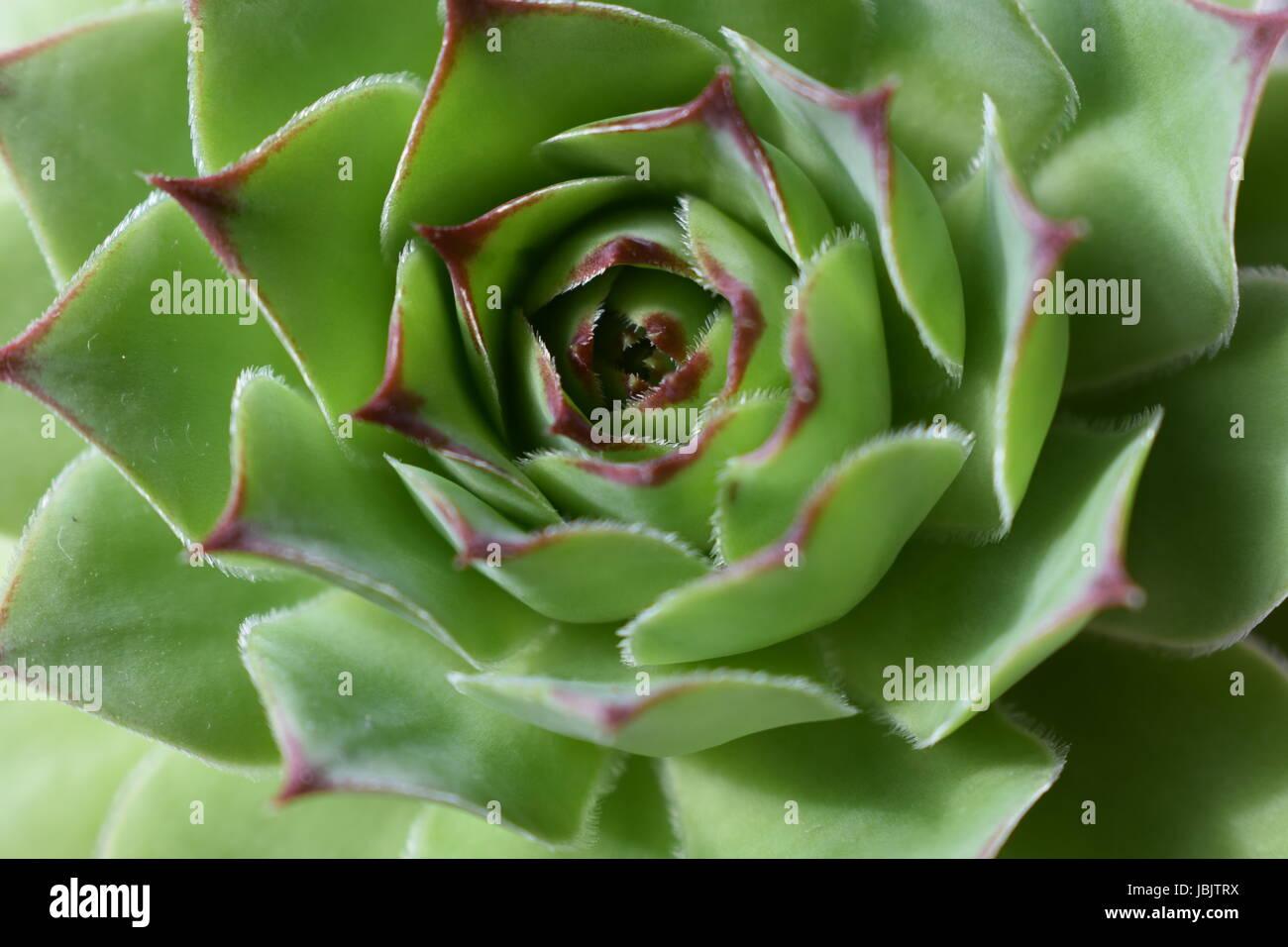 Echeveria close up - Stock Image