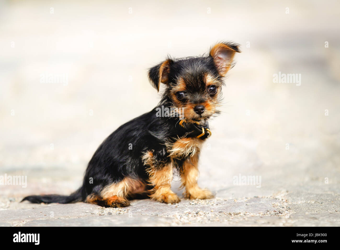 Mixed-bred puppy. Mix of Yorkshire Terrier and Chihuahua. - Stock Image