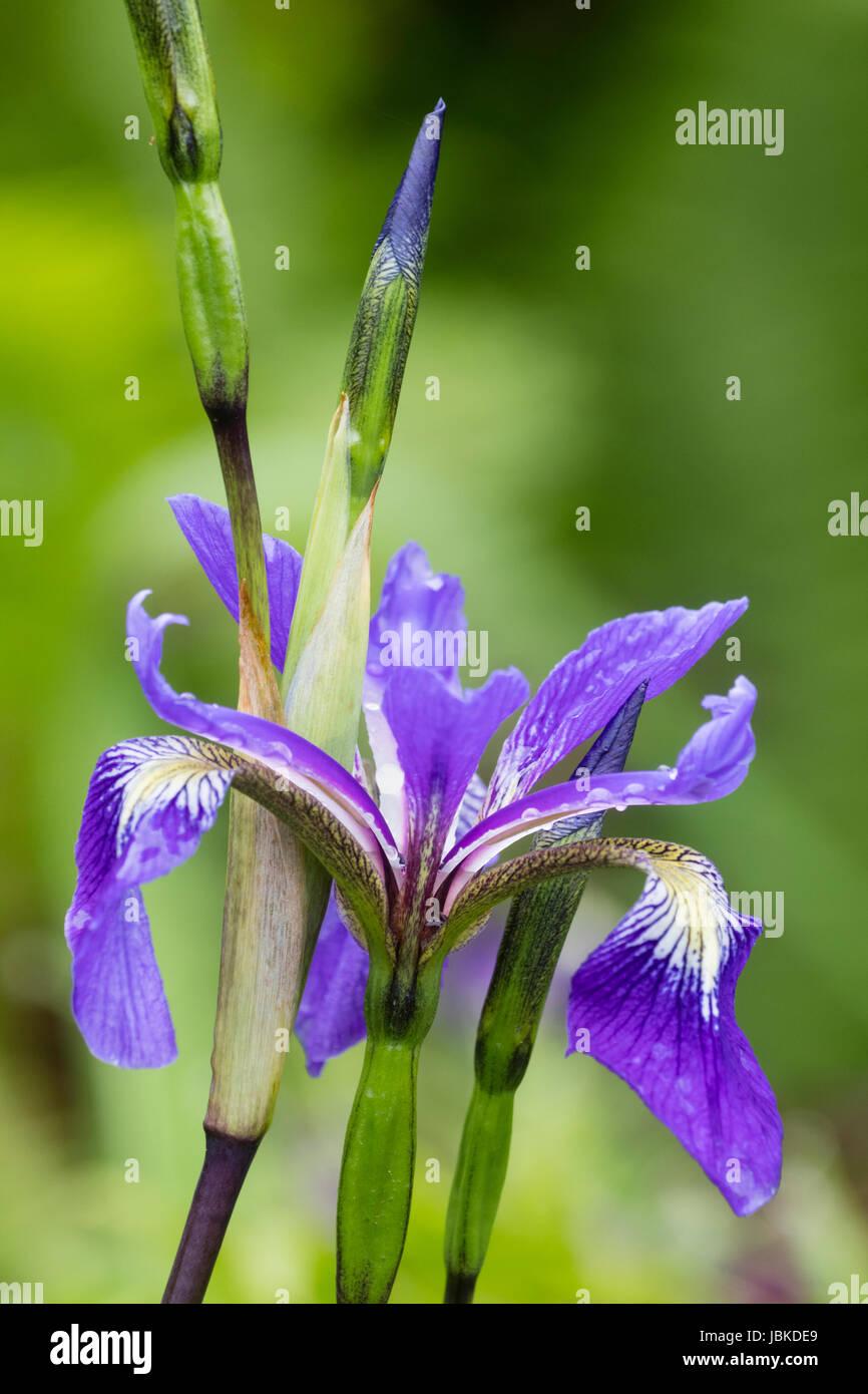 Flower and bud of the tall, upright water iris, Iris x robusta 'Dark Aura', an I.versicolor x virginica - Stock Image