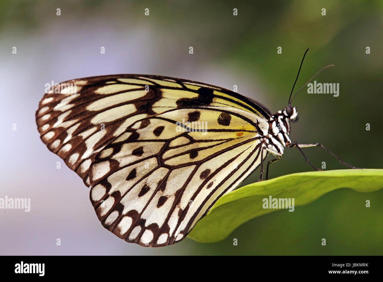 white tree nymph idea leuconoe Stock Photo