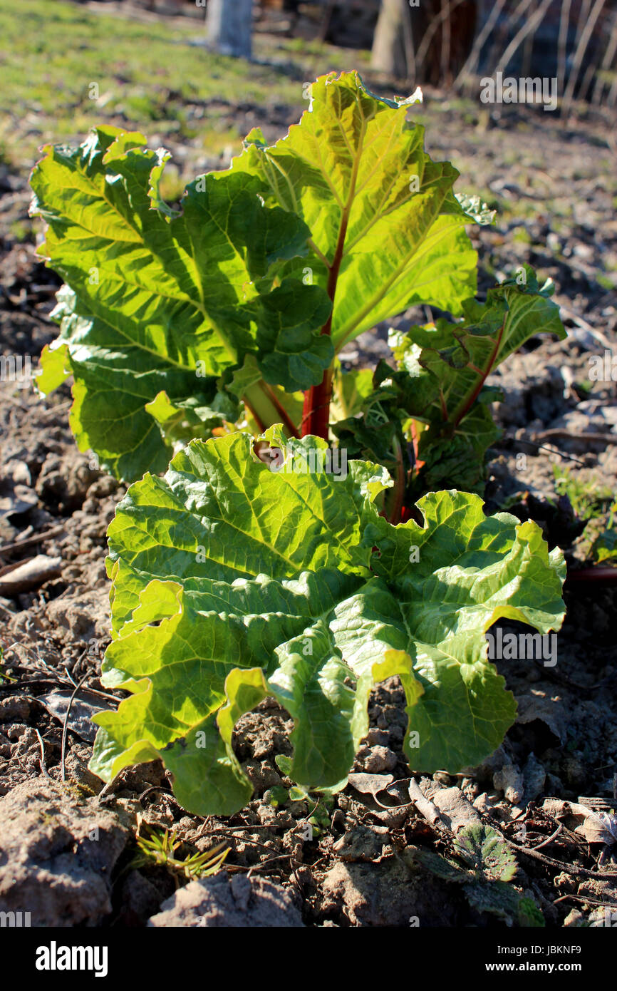 Young sprouts of a rhubarb on the ground in the spring Stock Photo