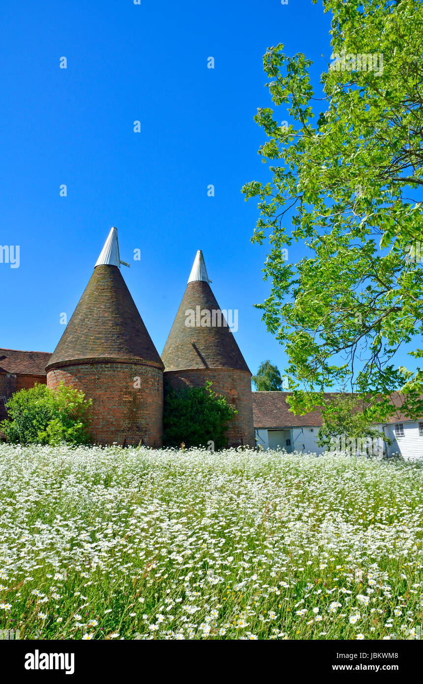Sissinghurst, Kent, England. Traditional Oast houses - hop drying kilns. Wild flower meadow - daisies - Stock Image