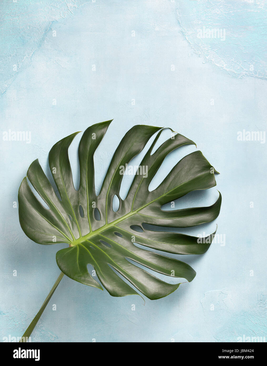 monstera leaf on a blue background concrete. view from above - Stock Image