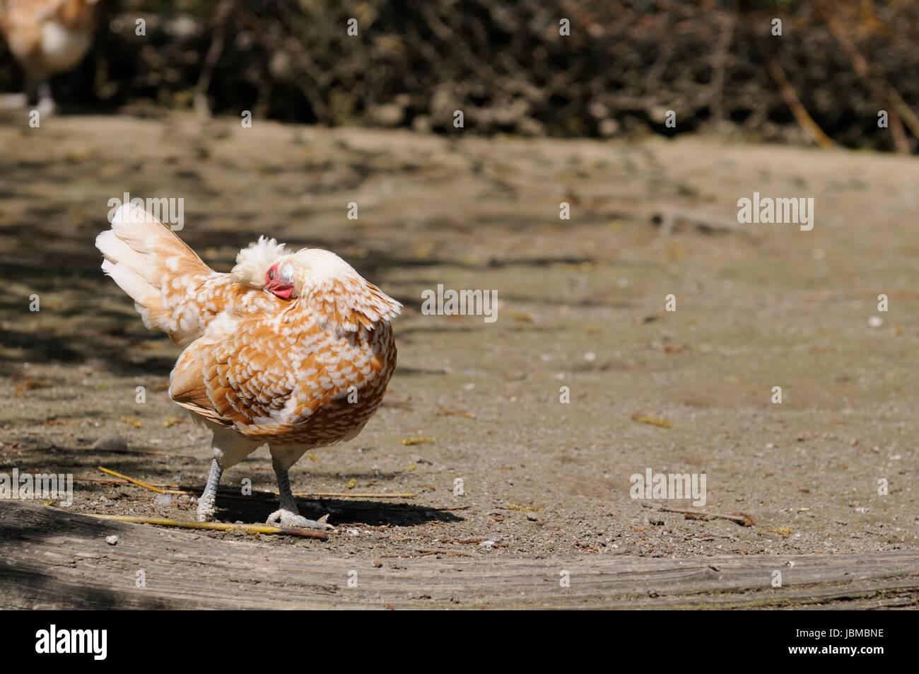 Appenzeller Chicken Stock Photo 144892426 Alamy