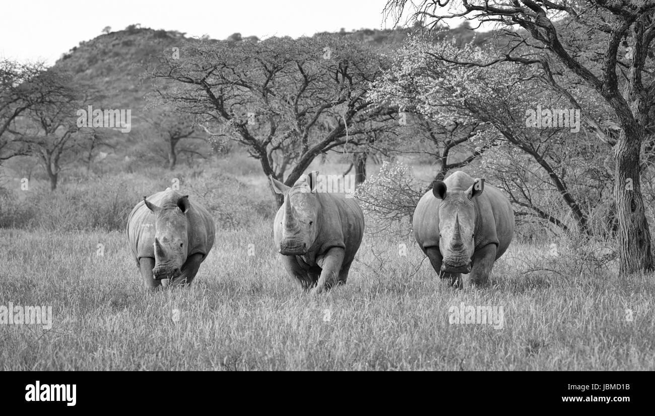 Three White Rhinos - Stock Image