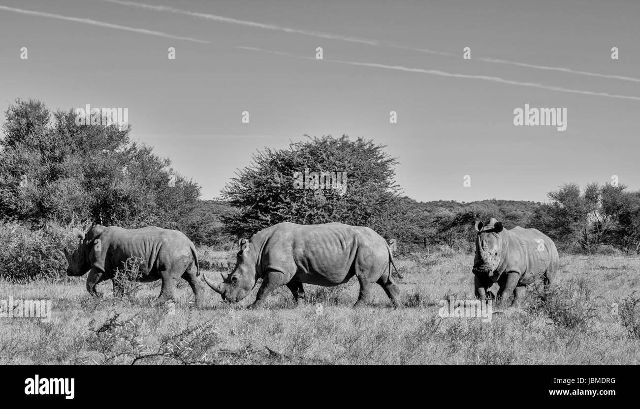 Three White Rhinos walking across savannah in Suthern Africa - Stock Image