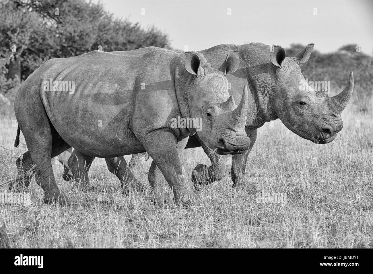 A pair of adult White Rhinos walking in savanna in Southern Africa - Stock Photo