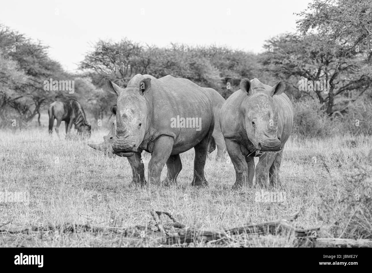 A group of White Rhinos grazing in Southern African savanna - Stock Image