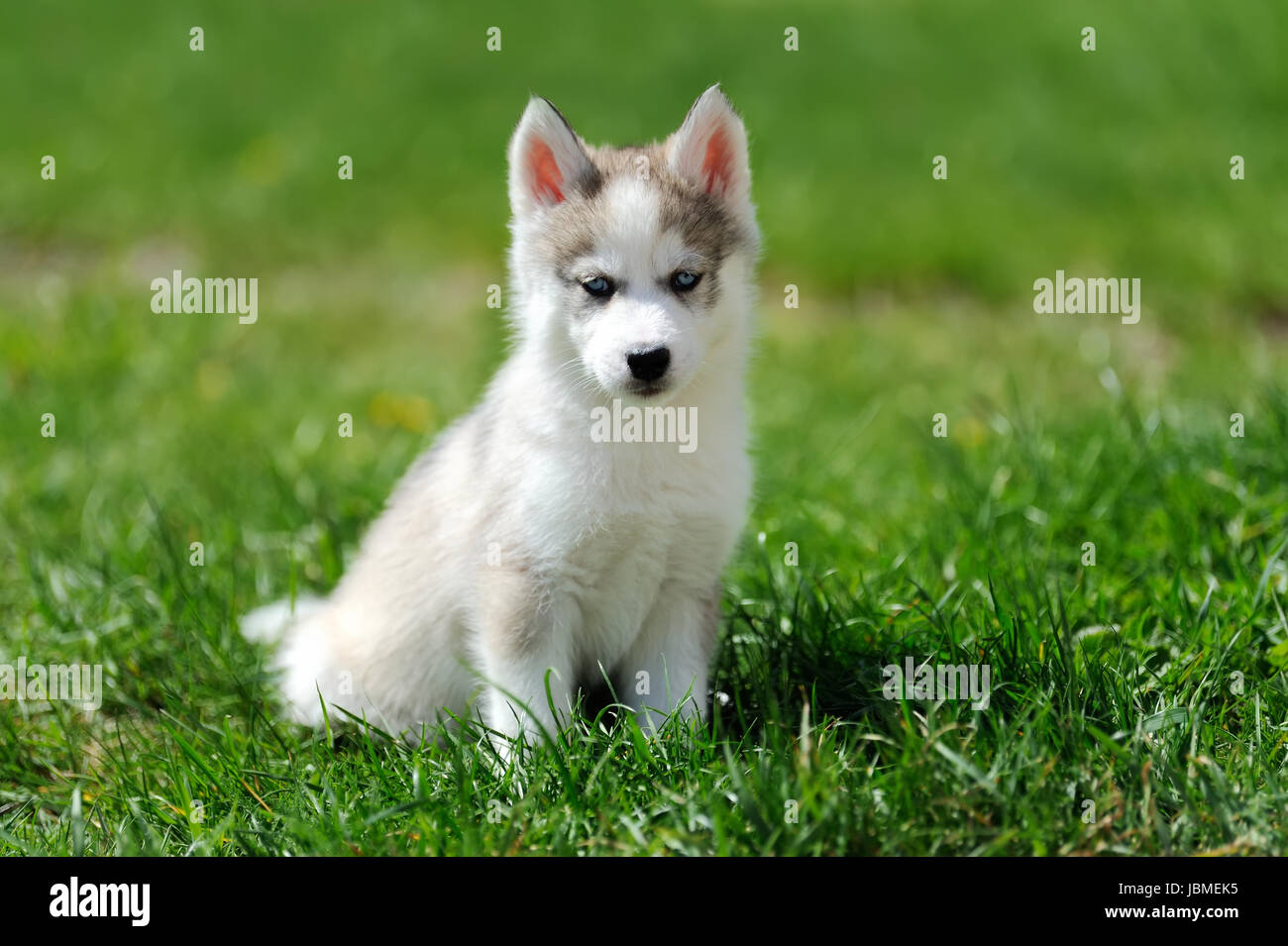Cute Little Siberian Husky Puppy In Grass Stock Photo 144894713 Alamy