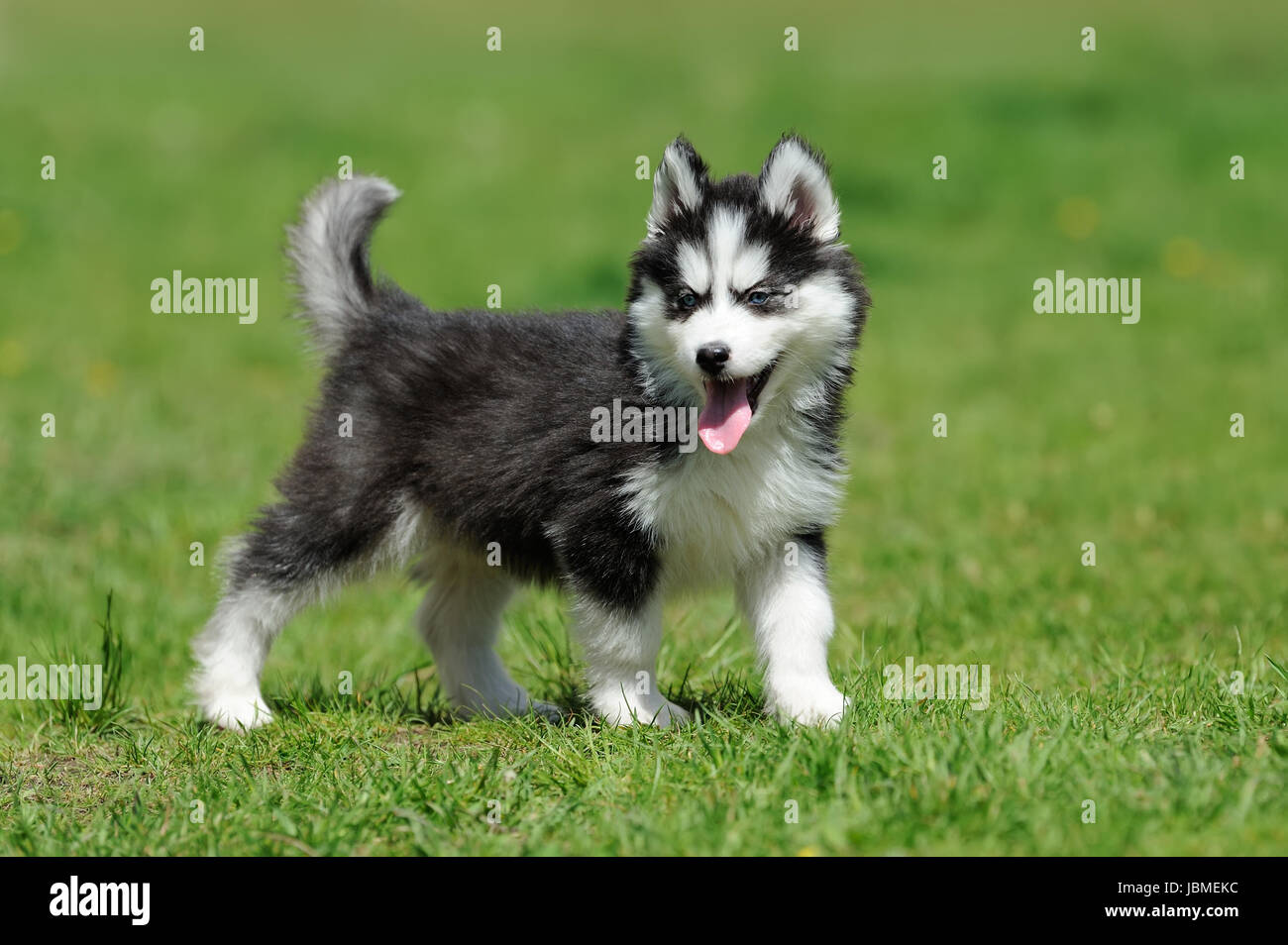 Cute Little Siberian Husky Puppy In Grass Stock Photo 144894720 Alamy
