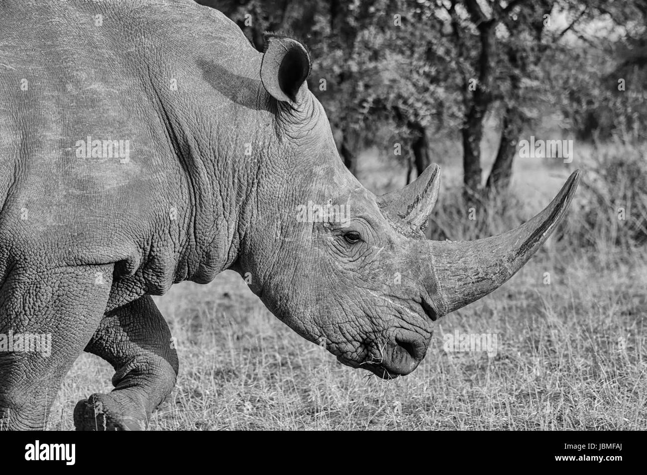 Adult White Rhino in Southern African savanna Stock Photo