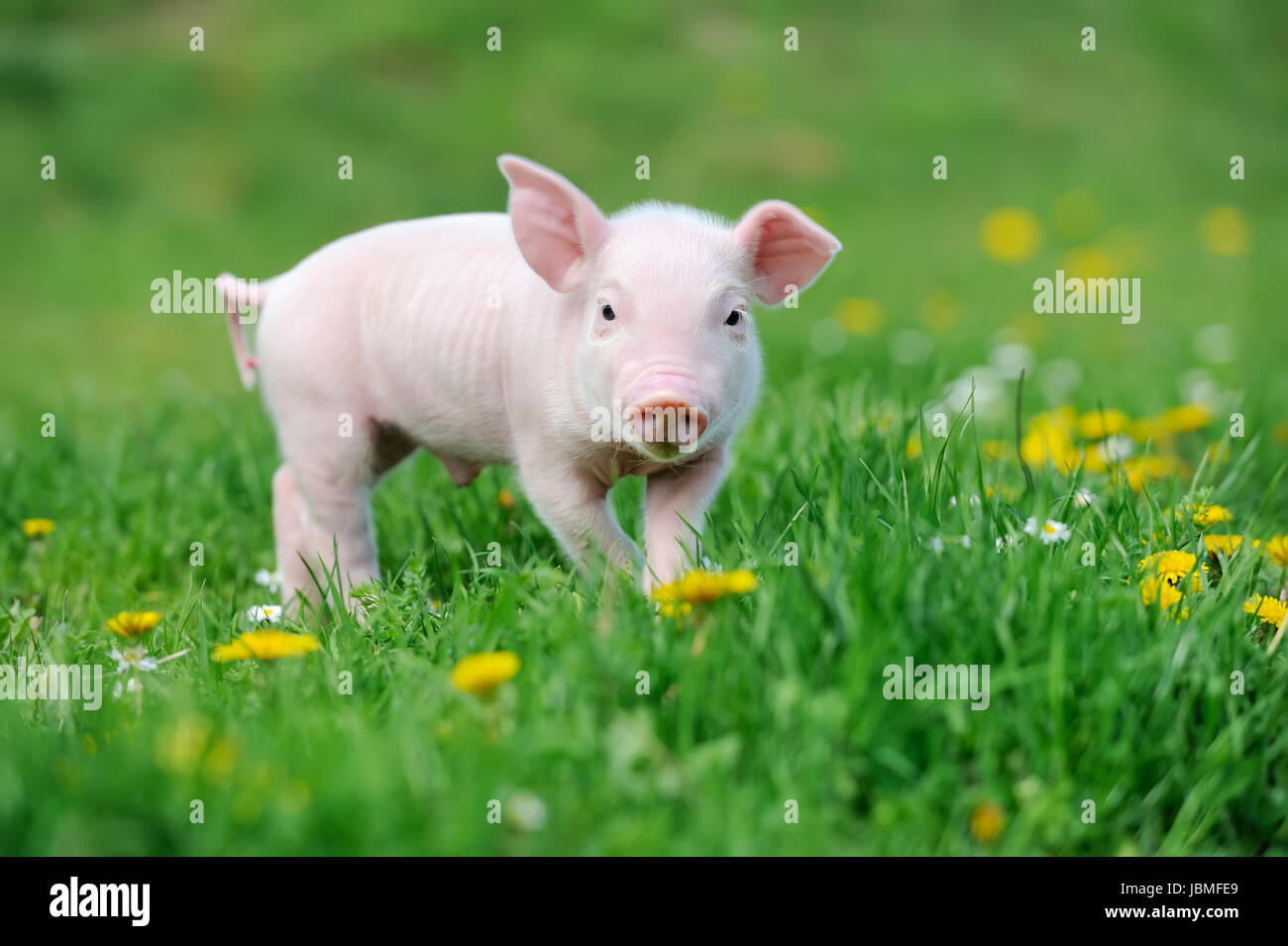 Young funny pig on a spring green grass - Stock Image