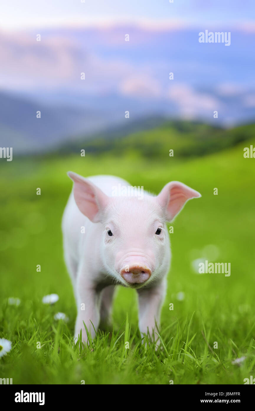 Young pig on a spring green grass in meadow - Stock Image
