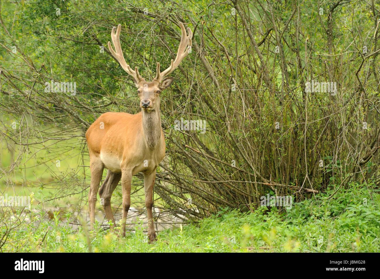 Altai deer in their natural habitat - Stock Image