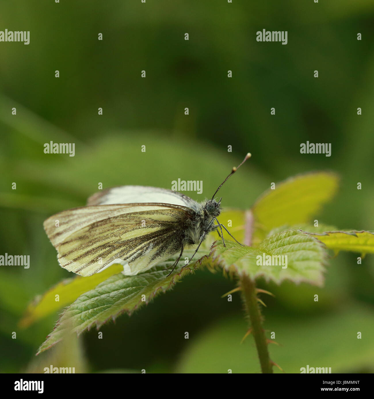 A beautiful Small White Butterfly perched - Stock Image
