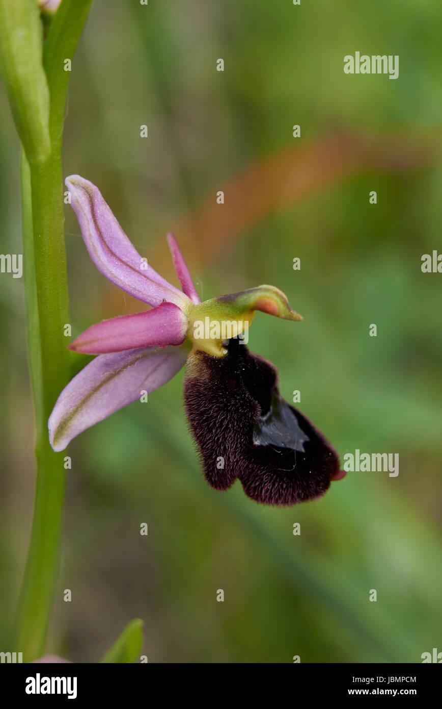 Ophrys bertolonii - Stock Image