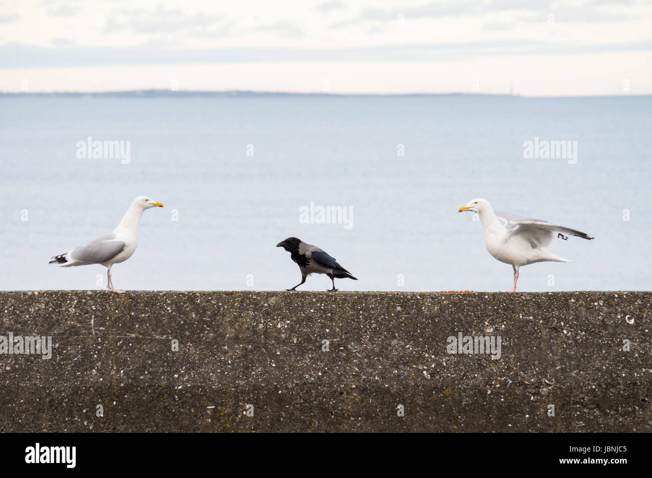 Hooded crow between two gulls - Stock Image