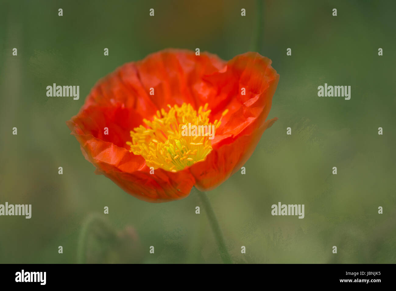 Red Poppy - texture background - Stock Image