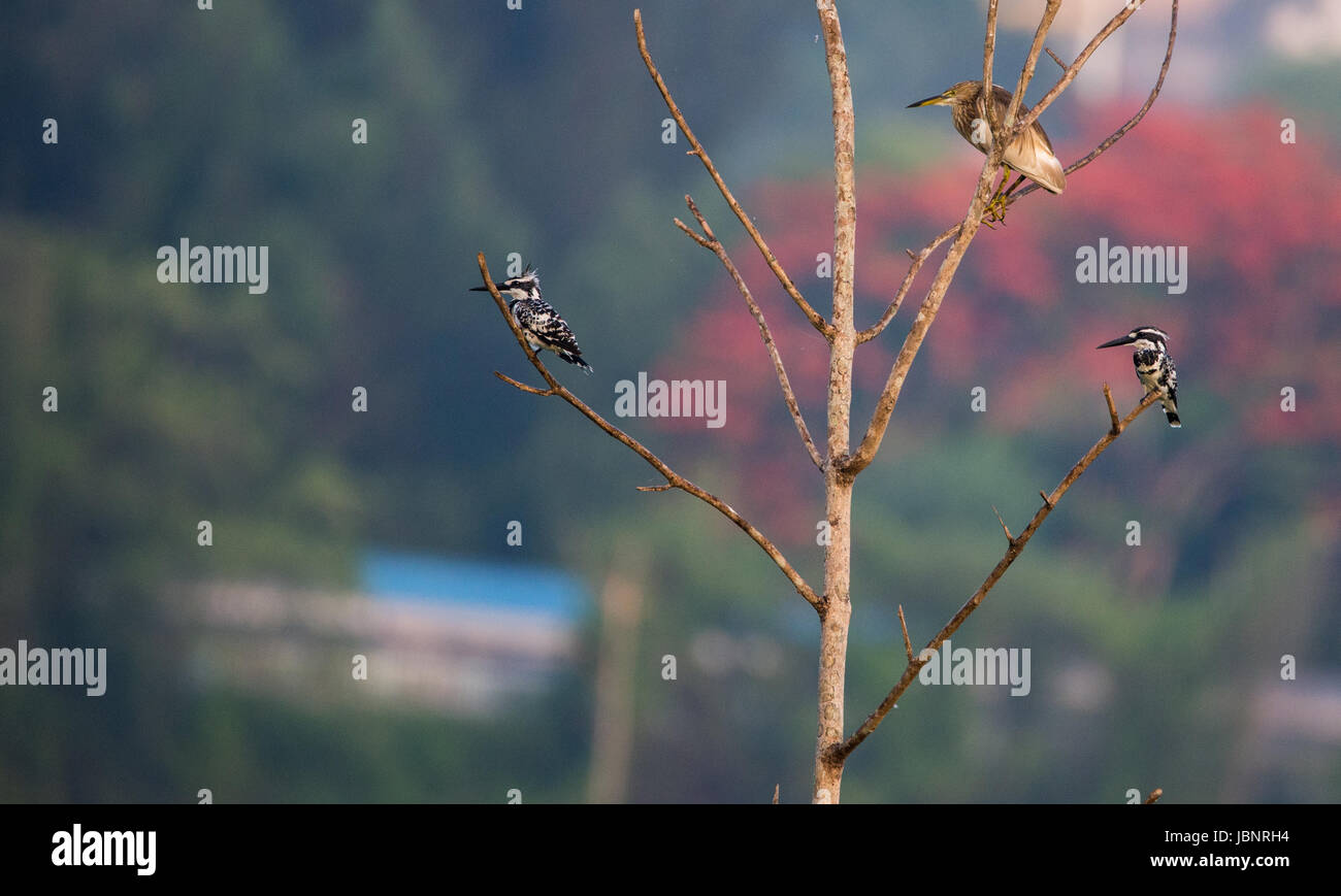 Two pied kingfishers and an Indian Pond heron watching for the right time to hunt - Stock Image
