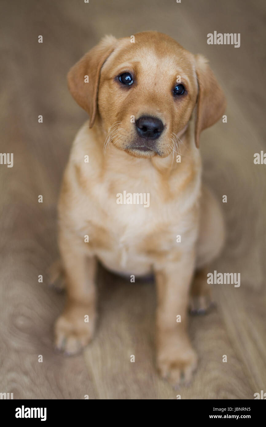 A cute, yellow Labrador Retriever puppy sitting obediently indoors and looking straight at the camera in a dog portrait - Stock Image