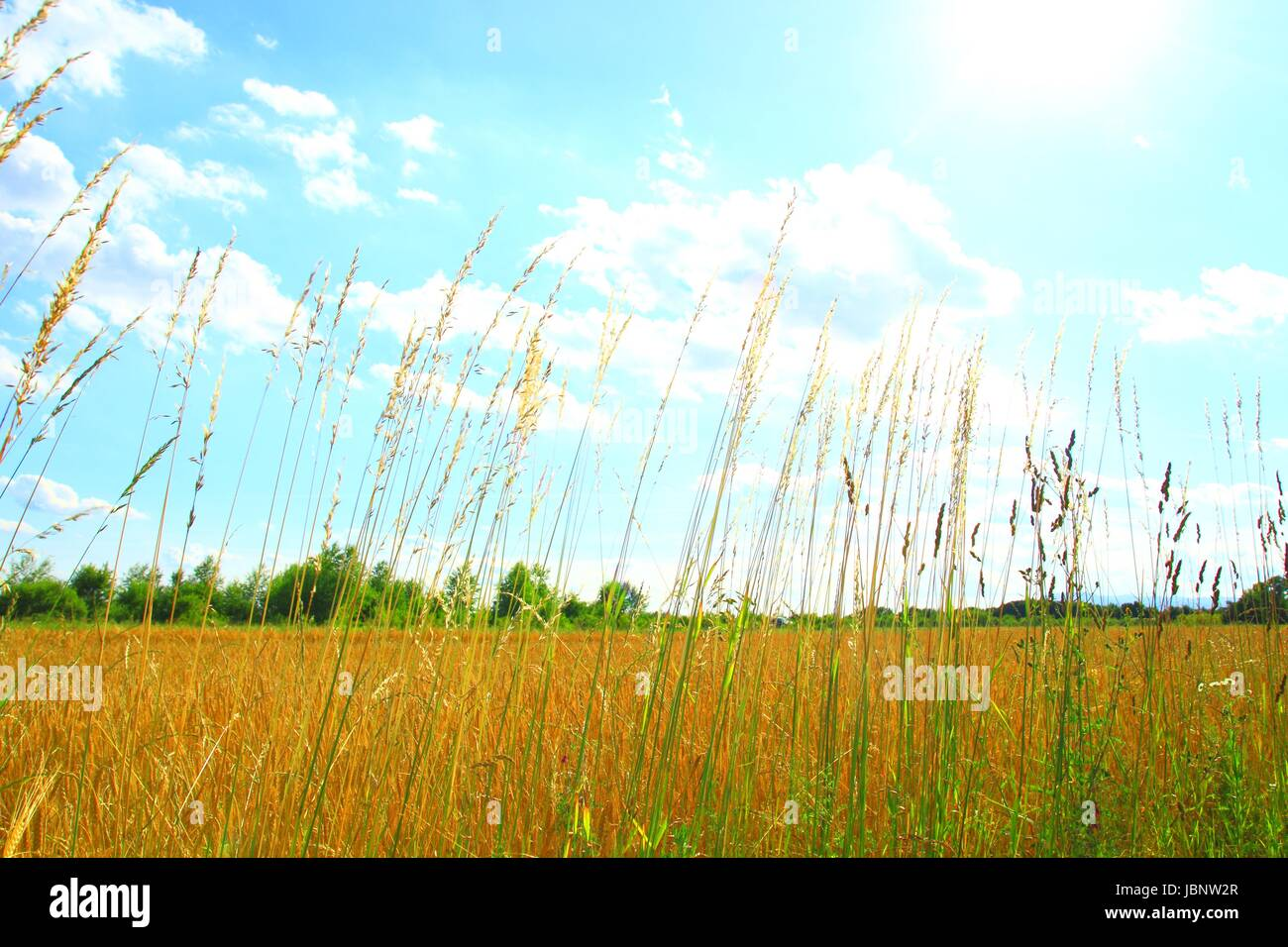 High grass in wheat field, sunny day, bright background - Stock Image