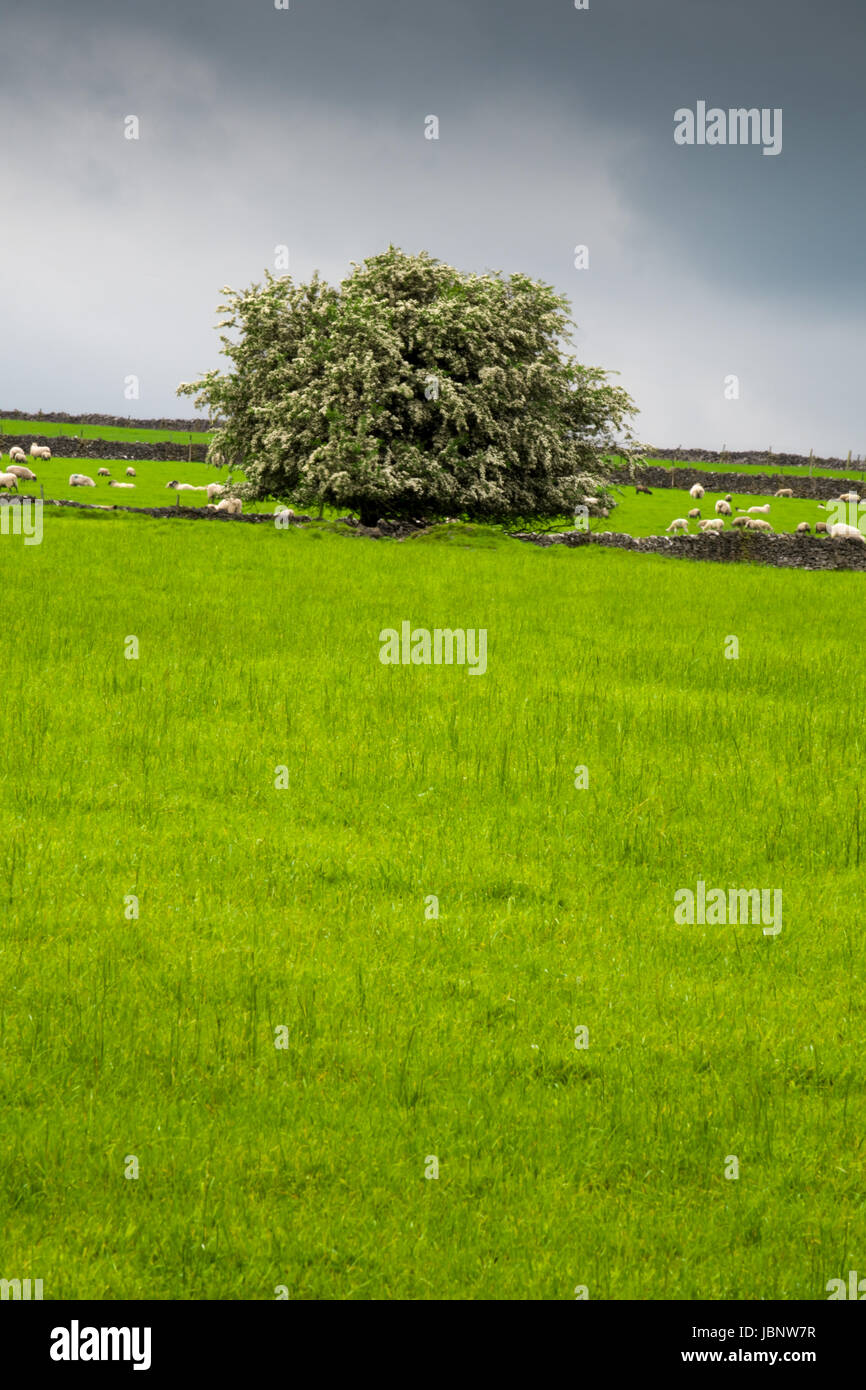 A mature hawthorn tree in blossom by Tideswell Rake - Stock Image