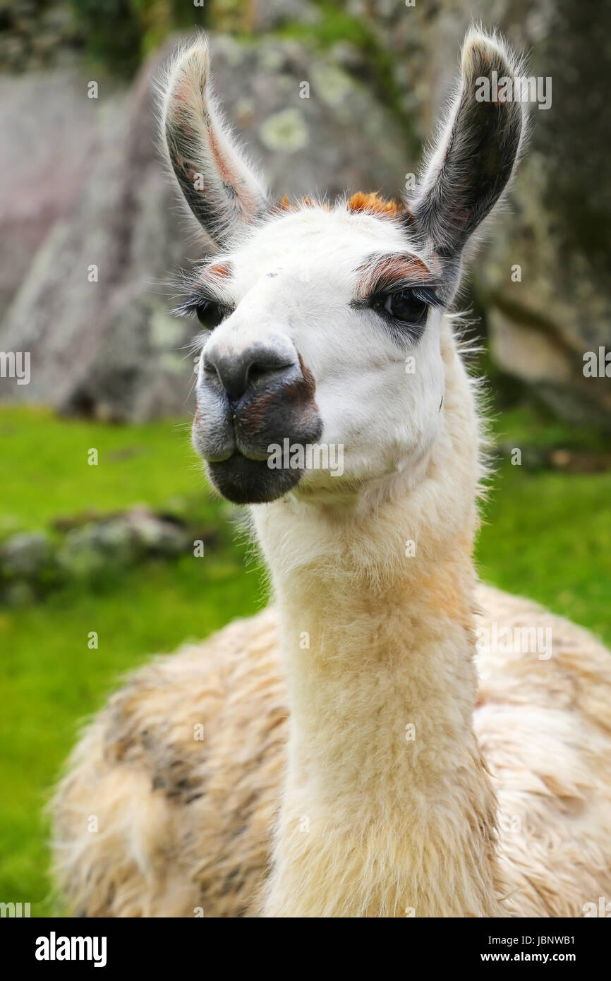 Portrait of llama standing at Machu Picchu, Peru. In 2007 Machu Picchu was voted one of the New Seven Wonders of - Stock Image