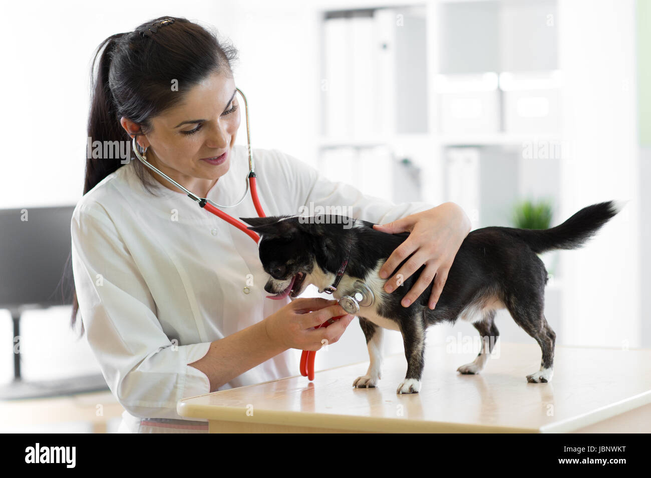 Cheerful young female veterinarian doctor using stethoscope listening to the heartbeat of a terrier canine dog at - Stock Image