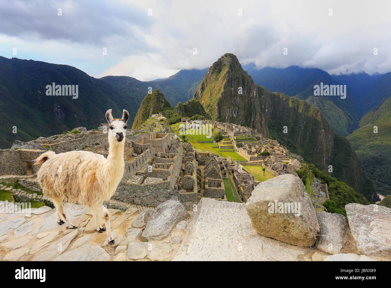 Llama standing at Machu Picchu overlook in Peru. In 2007 Machu Picchu was voted one of the New Seven Wonders of - Stock Image