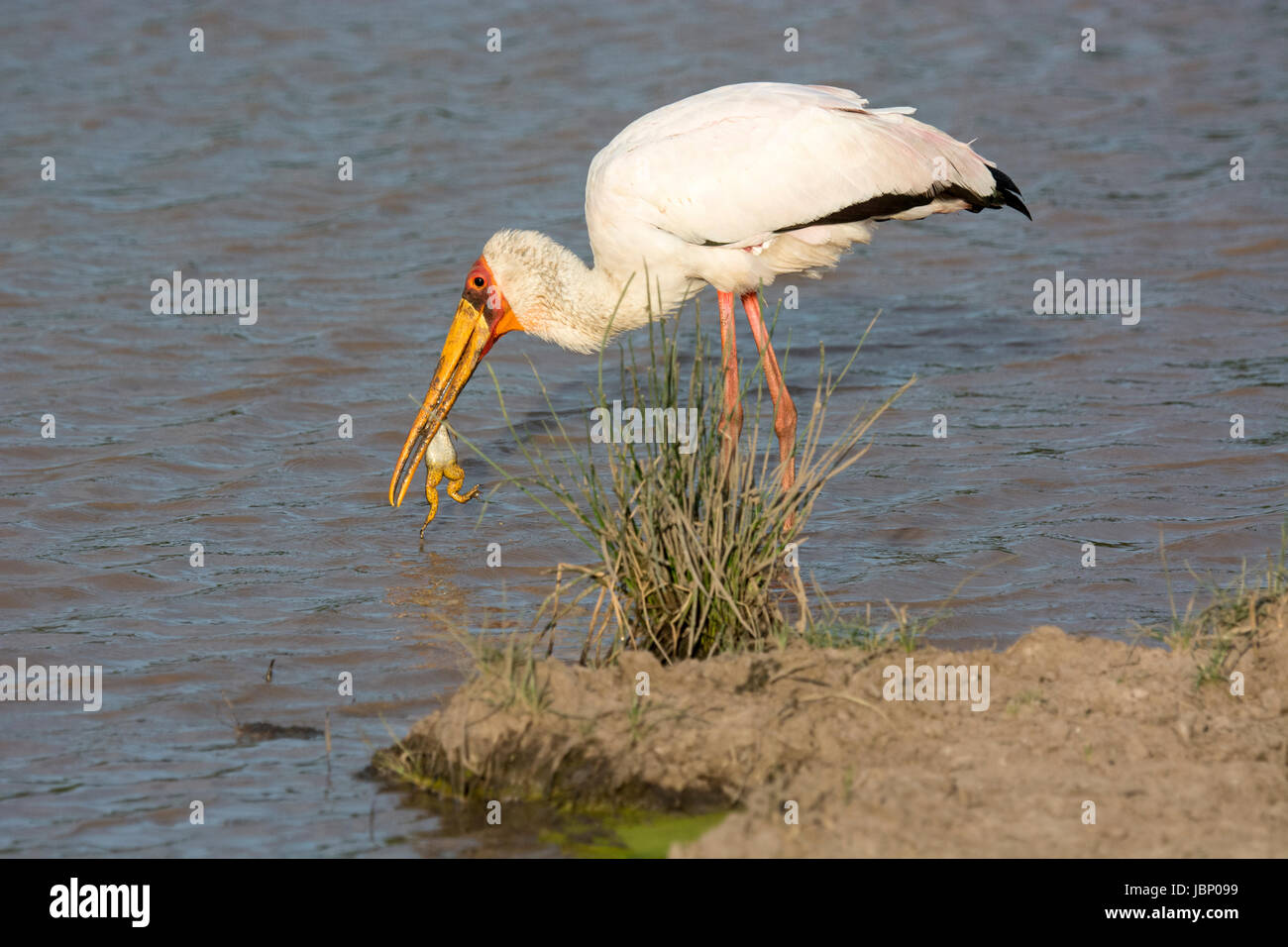 Yellow-billed Stork, Mycteria ibis, catching and eating a frog in the Masai Mara National Reserve, Kenya, East Africa - Stock Image