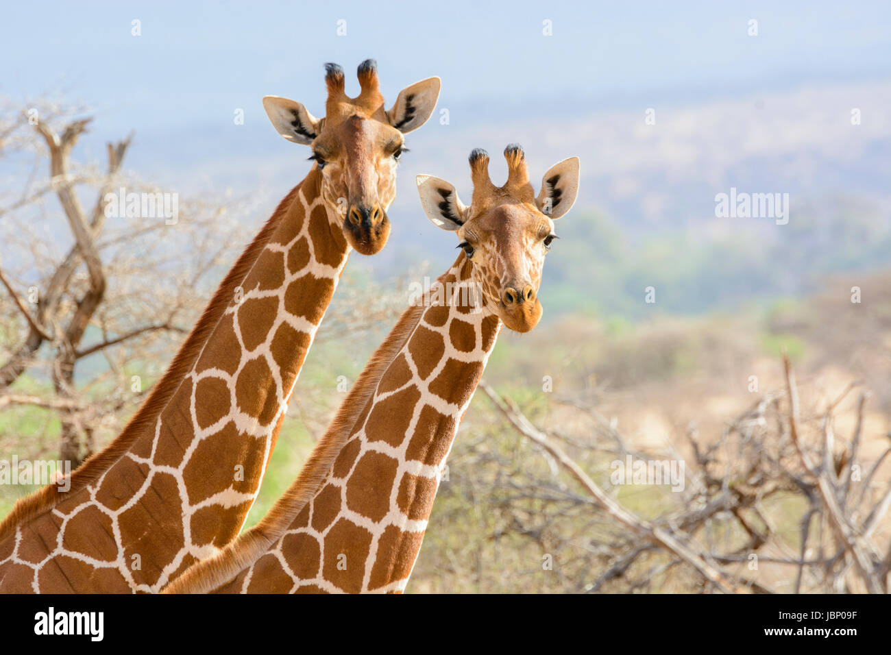 Two Reticulated Giraffes, Giraffa camelopardalis reticulata, adult and juvenile, looking at the camera, Buffalo - Stock Image