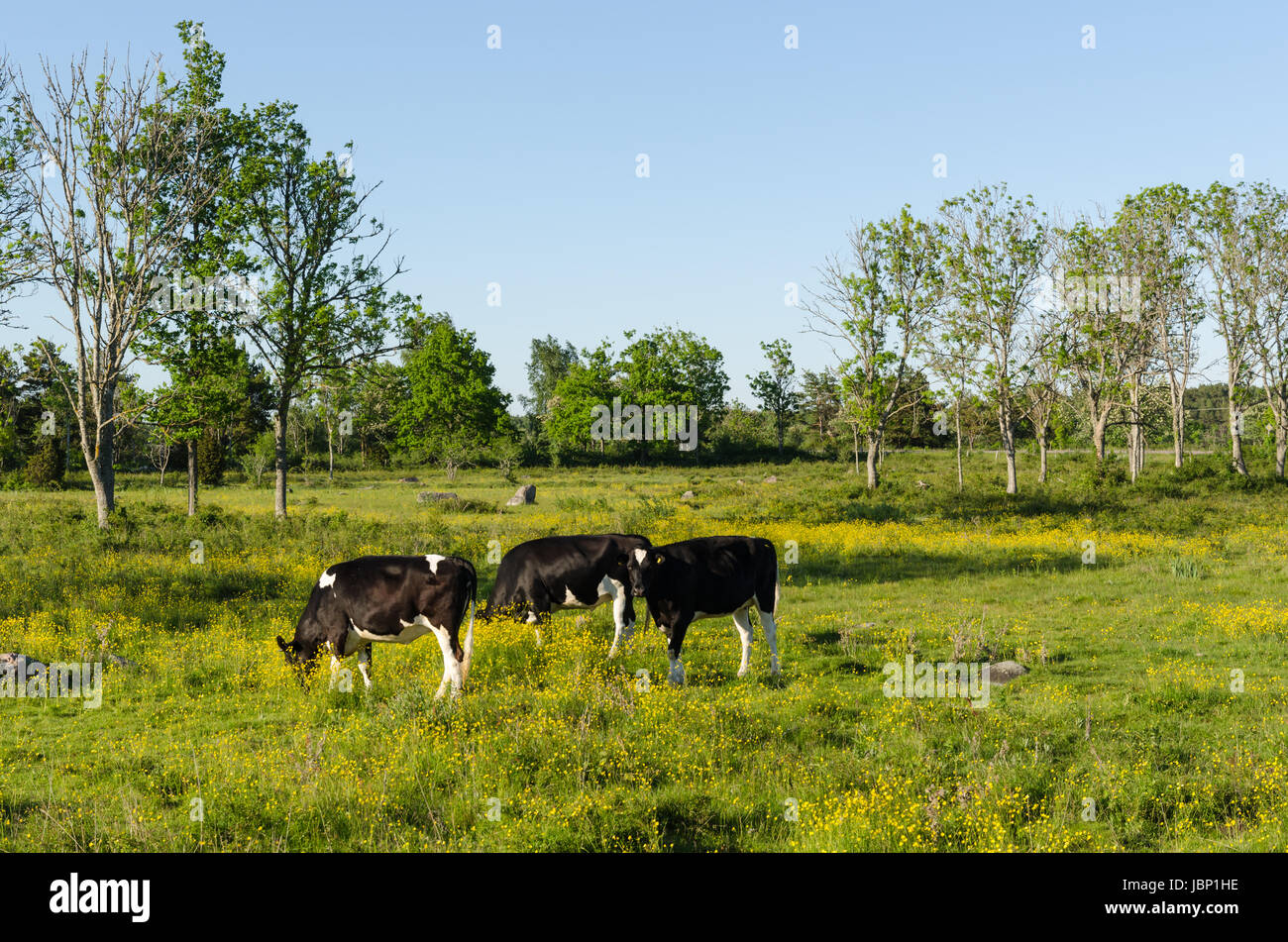 Young cows grazing in a green and yellow pastureland - Stock Image