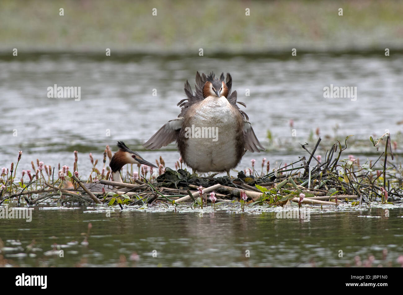 Great Crested Grebes-Podiceps cristatus on nest. Uk - Stock Image