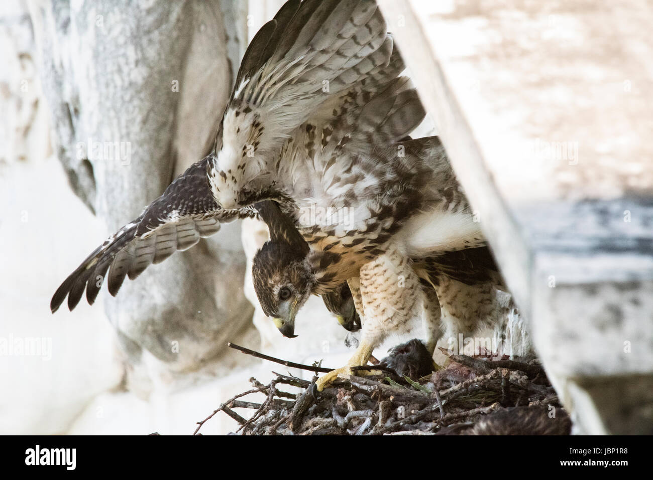 A red-tailed hawk nests atop the U.S. Department of Agriculture Whitten Building June 8, 2017 in Washington, DC. - Stock Image